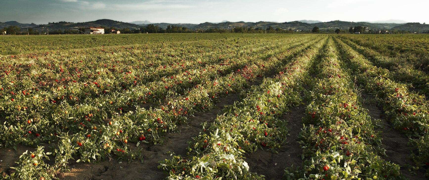 שדה עגבניות Mutti