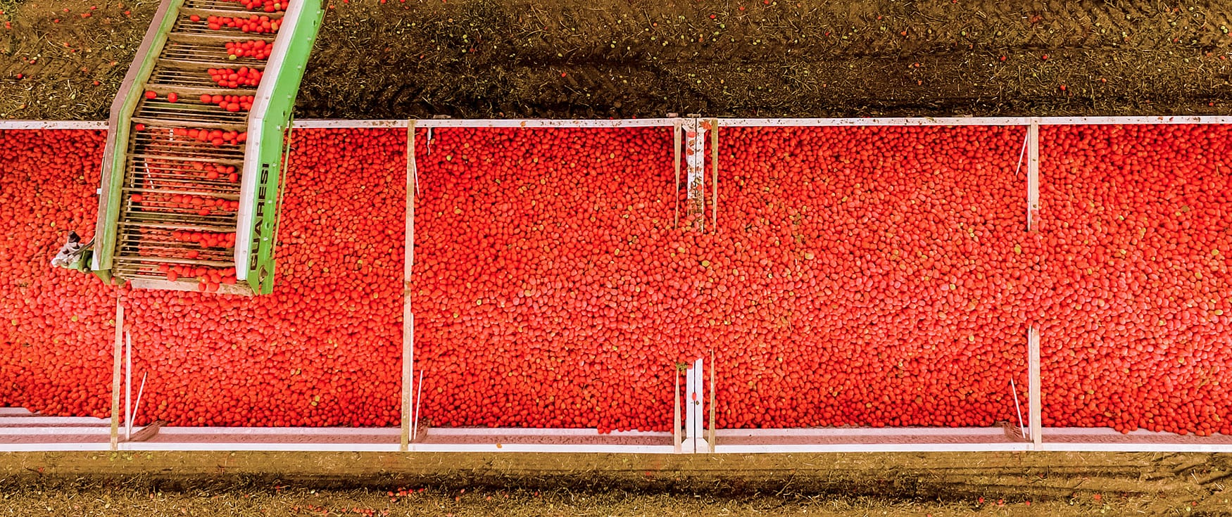 עגבניות Mutti במפעל